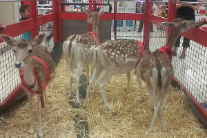 Reindeer grazing at marketplace leichhardt 22nov2014