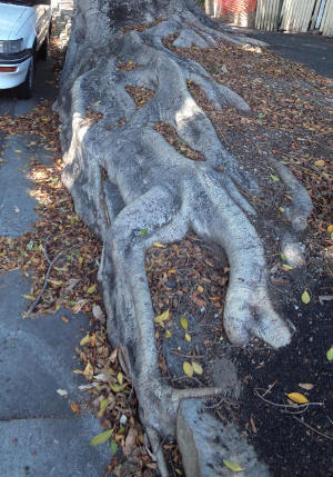 20180129-tree-root-kerbing-glebe-29jan2018.jpg